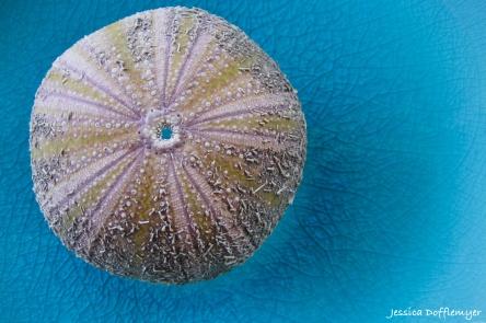 4x6_2013-03-21sea urchin