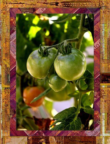 Tomatoes  MT