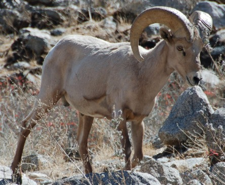 https://vivimetaliun.files.wordpress.com/2015/11/483c0-desert_bighorn_barna_cropped.jpg?w=444