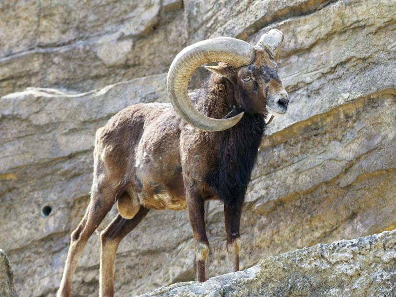 https://vivimetaliun.files.wordpress.com/2015/11/4cef0-argali.jpg?w=812&h=609