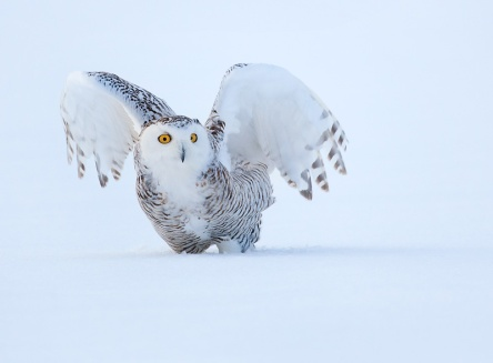 https://vivimetaliun.files.wordpress.com/2015/11/c1bed-snowy-owl.jpg?w=444