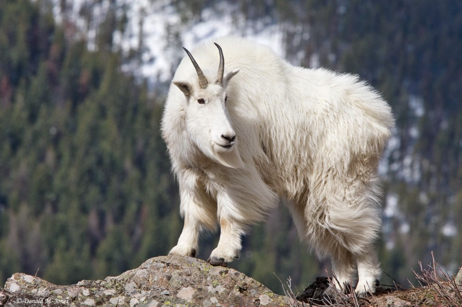 https://vivimetaliun.files.wordpress.com/2015/11/cf7b0-1852_1mountain_goat01816d.jpg?w=907&h=605