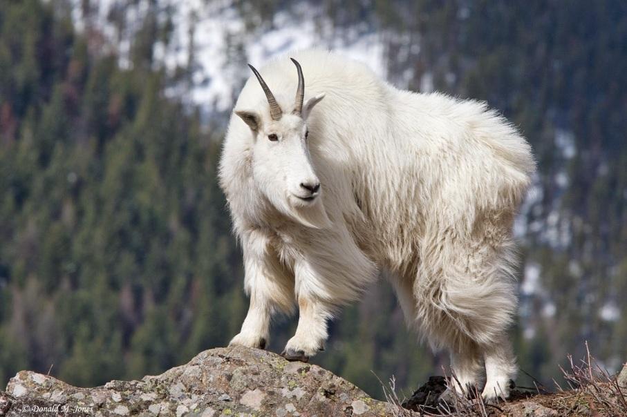 https://vivimetaliun.files.wordpress.com/2015/11/cf7b0-1852_1mountain_goat01816d.jpg?w=907&h=605