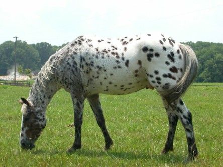 https://vivimetaliun.files.wordpress.com/2016/03/a0200-appaloosa.jpg?w=444