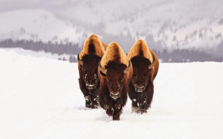 https://vivimetaliun.files.wordpress.com/2016/06/0dae5-three-bison-buffalo-walking-on-snow.jpg
