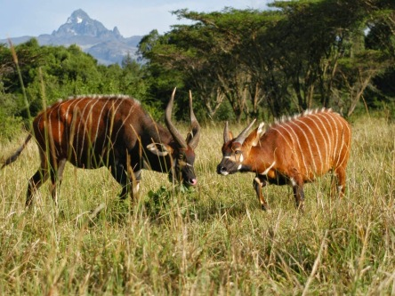 https://vivimetaliun.files.wordpress.com/2016/11/1db87-mount-kenya-bongo.jpg